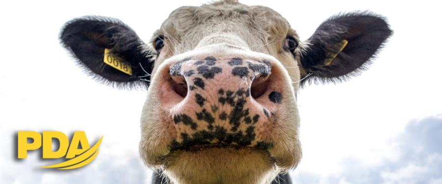 vaca seguro ganadero